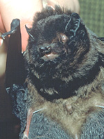 Long-tailed bat