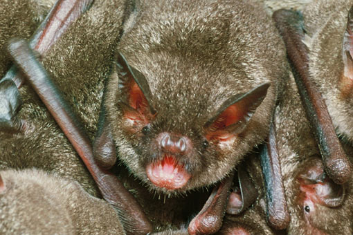Lesser short-tailed bat