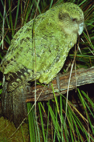 Kakapo, Department of Conservation