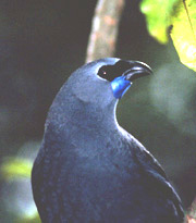 kokako, Crown Copyright DoC