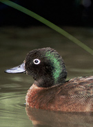 Flightless teal